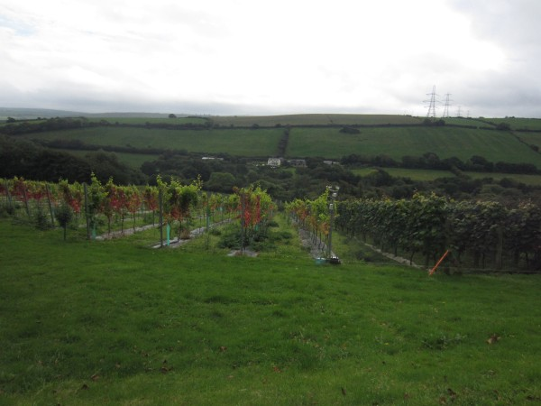 View of the vines from the terrace